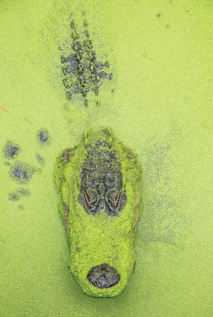 close-up of alligator in the water