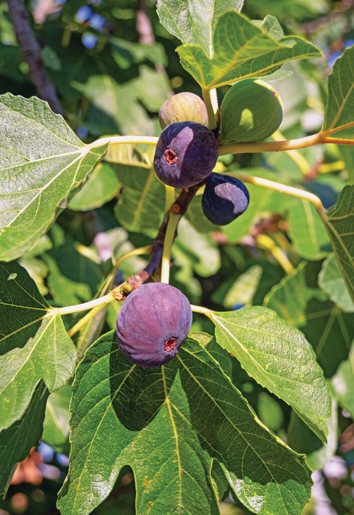 Fresh figs growing on a tree