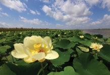 lotus flower along the riverbank