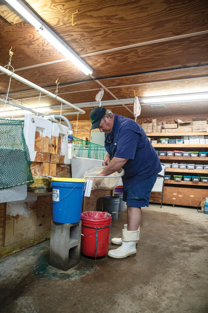 Captain Morgan sorting live bait into buckets