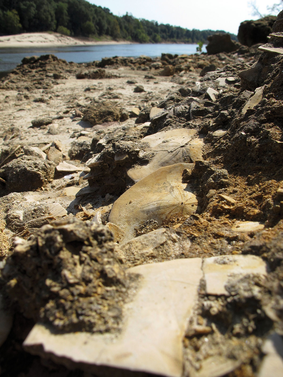 Sand dollars along the river bank